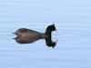 Red-knobbed Coot (Fulica cristata) - Wiki