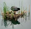 Eurasian Coot (Fulica atra) with chicks on nest