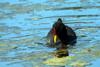 Red-fronted Coot (Fulica rufifrons) - Wiki
