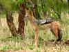 Black-backed Jackal (Canis mesomelas) - Wiki