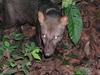 Short-eared Dog (Atelocynus microtis) - Wiki