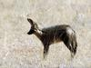 Bat-eared Fox (Otocyon megalotis) - Wiki