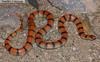 Common Ground Snake (Sonora semiannulata) - Wiki