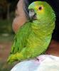 Blue-fronted Amazon (Amazona aestiva) - Wiki