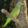 Lilac-crowned Amazon (Amazona finschi) - Wiki