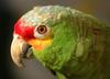 Red-lored Amazon (Amazona autumnalis) - Wiki