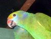 Blue-cheeked Amazon (Amazona dufresniana) - Wiki