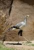 Secretary Bird (Sagittarius serpentarius) at the San Diego Zoo