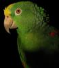 Yellow-crowned Amazon (Amazona ochrocephala) - Wiki