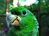 Kawall's Amazon (Amazona kawalli) - Wiki