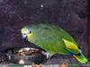 Orange-winged Amazon (Amazona amazonica) - Wiki