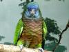 St Lucia Amazon (Amazona versicolor) - Wiki