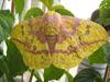 Imperial Moth (Eacles imperialis)
