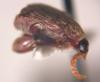 Bean Weevil (Family: Chrysomelidae, Subfamily: Bruchinae) - Wiki