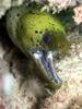 Fimbriated Moray Eel (Gymnothorax fimbriatus) - Wiki