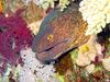 Yellow-edged Moray Eel (Gymnothorax flavimarginatus) - Wiki
