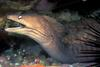 Grey Moray Eel (Gymnothorax nubilus) - Wiki