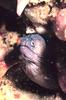 Polygon Moray Eel (Gymnothorax polygonius) - Wiki