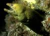 Yellow Moray Eel (Gymnothorax prasinus) - Wiki