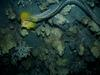Undulated Moray Eel (Gymnothorax undulatus) hunting yellow tang