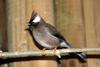 White-collared Yuhina (Yuhina diademata) - Wiki