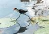 Comb-crested Jacana (Irediparra gallinacea) - Wiki