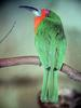 Red-bearded Bee-eater (Nyctyornis amictus) - Wiki