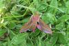 Elephant Hawk-moth (Deilephila elpenor) - Wiki