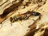 Mud dauber (Superfamily: Apoidea) - Wiki