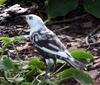 A piebald (Leucistic) Common Grackle