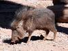 Chacoan Peccary (Catagonus wagneri) at the Phoenix Zoo