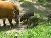 Red River Hog (Potamochoerus porcus) - Wiki