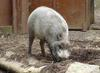 Bearded Pig (Sus barbatus) - Wiki