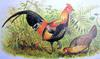 Red Junglefowl (Gallus gallus) - Wiki