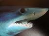 Shortfin Mako Shark (Isurus oxyrinchus) head