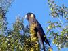 Yellow-tailed Black Cockatoo (Calyptorhynchus funereus) - Wiki