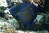Bluering Angelfish (Pomacanthus annularis) - Wiki