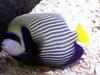 Emperor Angelfish (Pomacanthus imperator) - Wiki