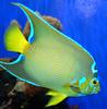 Queen Angelfish (Holacanthus ciliaris) - Wiki