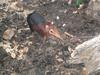 Black and Rufous Elephant Shrew (Rhynchocyon petersi) - Wiki