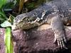 Water Monitor (Varanus salvator) - Wiki