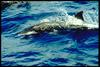 Rough-toothed Dolphin (Steno bredanensis) - Wiki