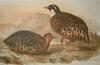 Painted Bush Quail (Perdicula erythrorhyncha) - Wiki