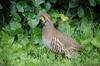 Red-legged Partridge (Alectoris rufa) - Wiki