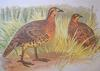 Mountain Bamboo-partridge (Bambusicola fytchii) - Wiki