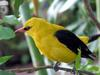 Oriole (Family: Oriolidae) - Wiki