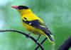 Black-naped Oriole (Oriolus chinensis) - Wiki