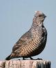 Scaled Quail (Callipepla squamata) - Wiki