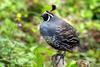 California Quail (Callipepla californica) - Wiki