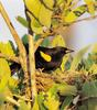 Yellow-shouldered Blackbird (Agelaius xanthomus) - Wiki